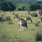 Wilsons Promontory kangaroos
