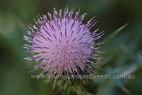 Californian Thistle flower